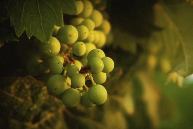 Racimo de uvas verde